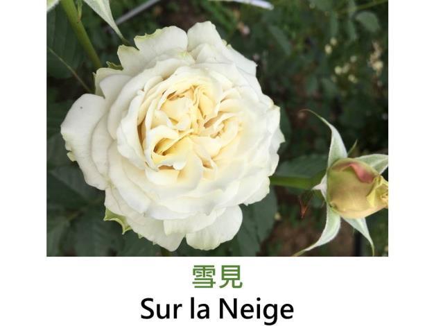 中輪豐花玫瑰,育出:2013日本,白色,波浪瓣花形,強香