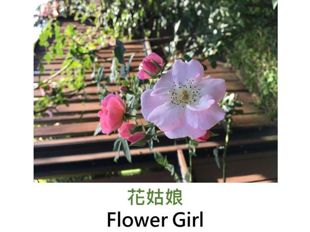 現代灌木玫瑰,育出:1998英國,淺粉色,重瓣平開,茶香