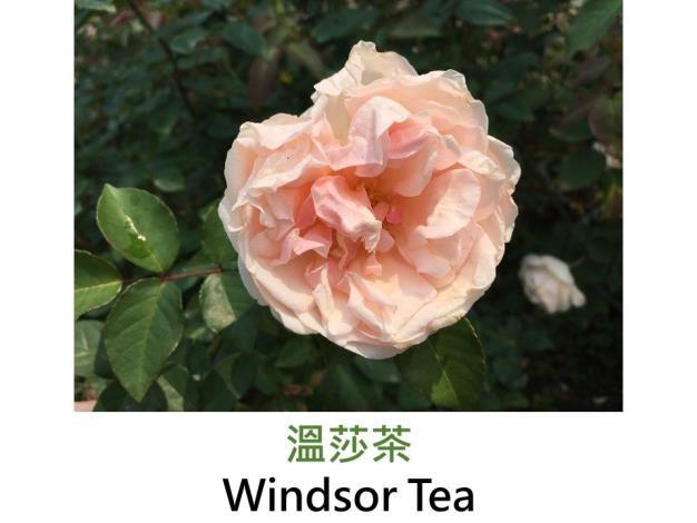 小至中輪.Found Rose.杏色.淡香