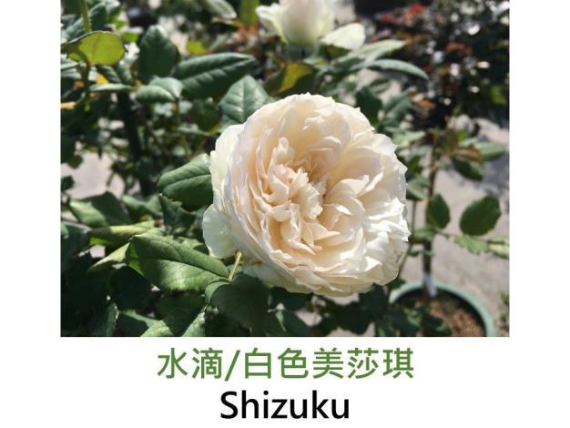 矮叢豐花玫瑰.育出:2010日本.白色.中心乳白.圓瓣古典杯型.濃香