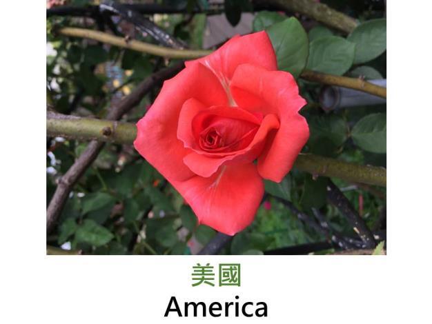 現代大花攀緣玫瑰,育出:1976美國,橙橘色,劍瓣高心形,濃香