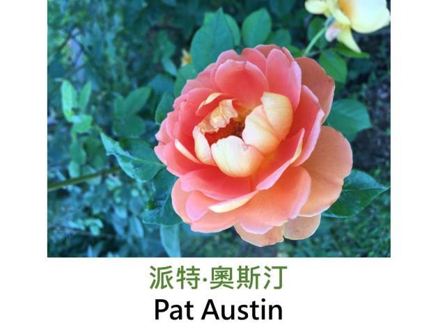 現代英國灌木玫瑰,育出:1995英國,橘橙色,圓瓣杯形,茶香