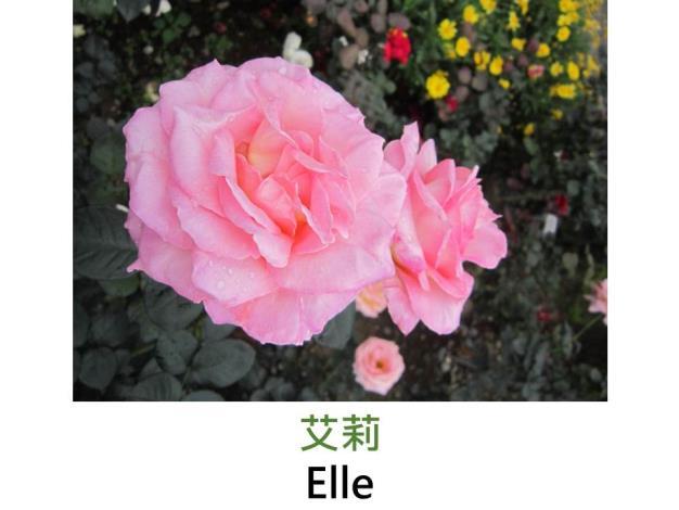 現代大花雜交茶香玫瑰,育出:1999法國,粉橘色,圓瓣高心形,強香