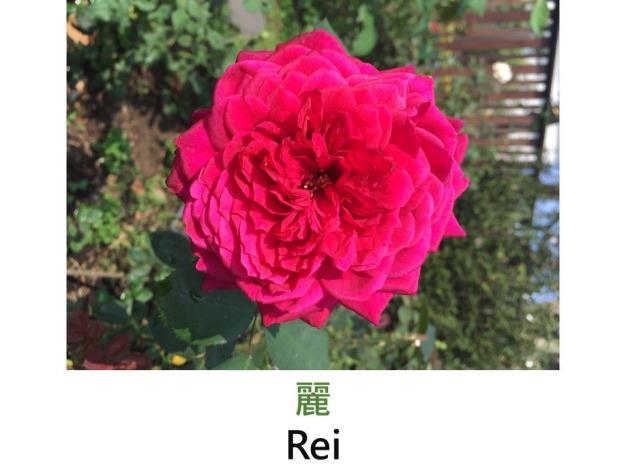育出:2012日本.胭脂紅色.非常重瓣.杯狀.中香