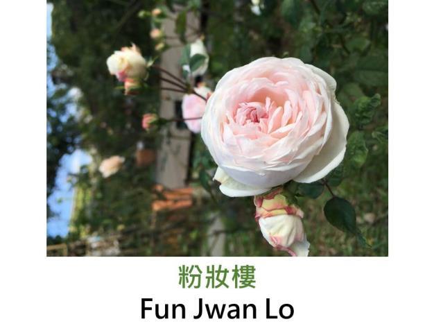 灌木玫瑰,育出:1811中國,淡粉至白色,圓瓣杯形 ,強香