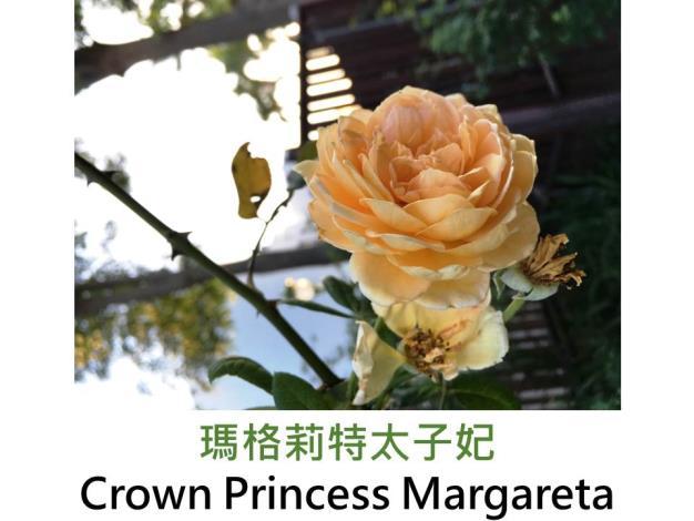 現代英國灌木玫瑰,育出 : 1991英國,玫瑰粉,重瓣杯狀半球形,微果香