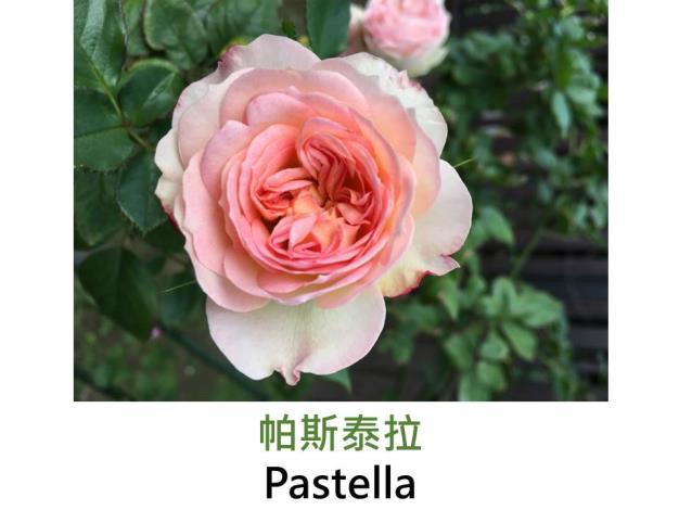 豐花玫瑰,育出:1998德國,粉紅色,外瓣奶油色,重瓣杯狀花形
