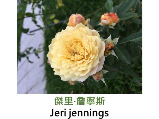 育出:2007美國,金黃色,球狀古典花形,強香