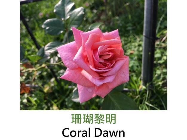 育出:1952美國,珊瑚粉紅至粉紅色,杯狀古典花型,淡香