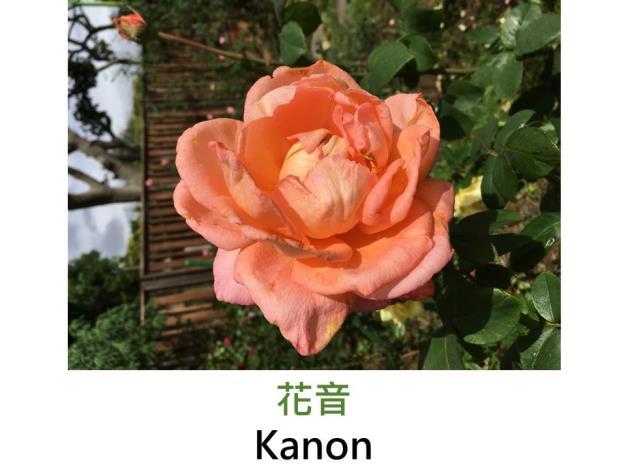 現代大花雜交茶香玫瑰,育出:2003日本,鮮橙色漸轉杏橙,半劍瓣高心形,中香