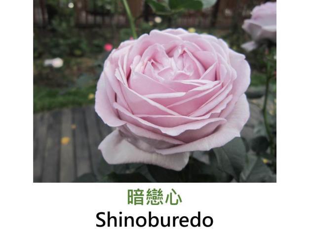 中輪豐花玫瑰,育出:2006日本,紫色,圓瓣杯形,中香