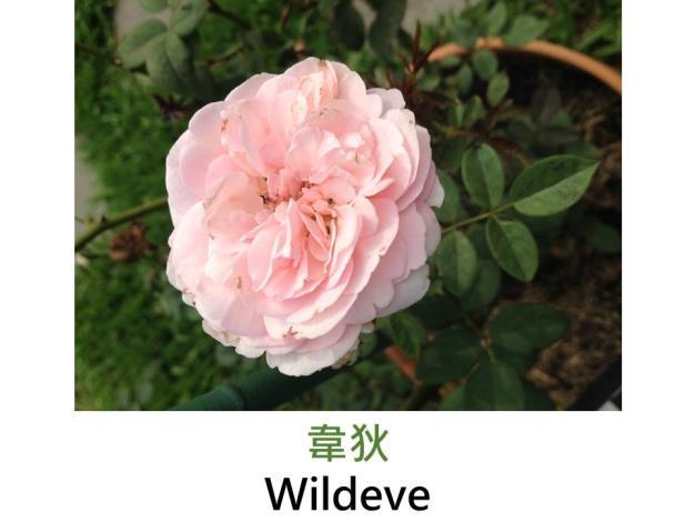 現代英國灌木玫瑰,育出:2003英國,粉杏色,重瓣古典四分花形,淡香