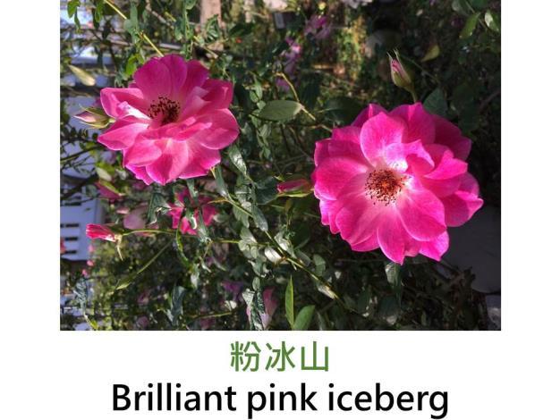 現代豐花矮叢玫瑰,育出:1998澳洲,花粉紅色,微香