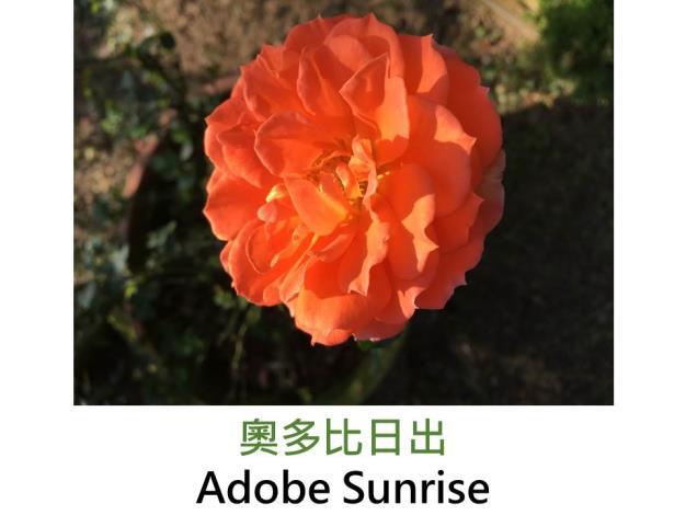 中輪豐花玫瑰,育出:2010前,法國,橙色,重瓣杯狀花