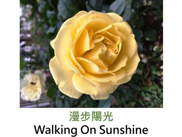 中輪豐花玫瑰,育出:2011美國,黃色,圓瓣杯形瓣厚,中香