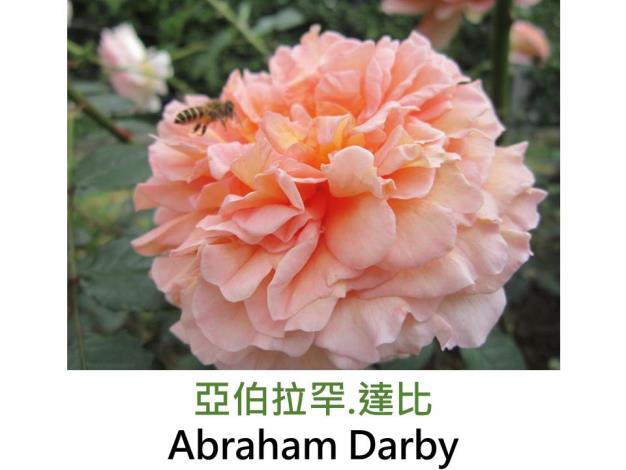 大花灌木玫瑰,育出:1985英國,粉杏紅,花瓣背面淡黃,重瓣深杯狀,濃郁果香