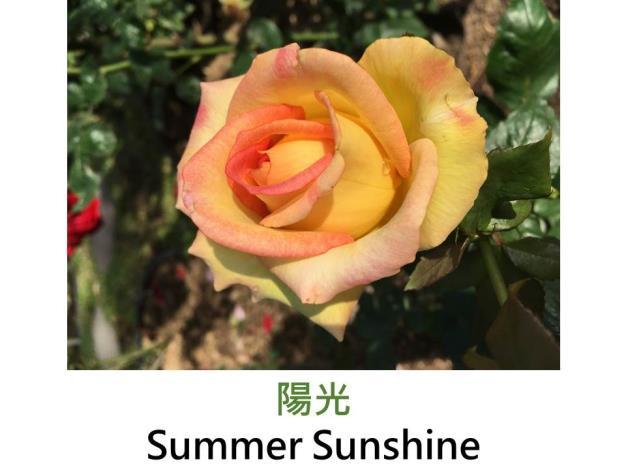 現代雜交茶香玫瑰,育出:1962美國,深黃,重瓣高心杯狀花形,淡香