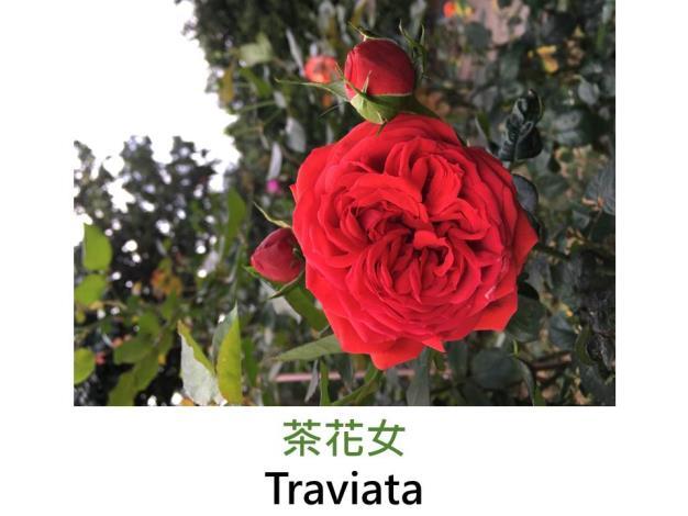 現代雜交茶香玫瑰,育出:1997法國,深紅,古典完全重瓣四分簇生花形
