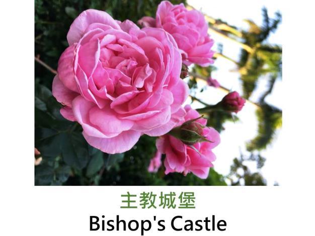 灌木玫瑰,育出:2007英國,粉紅色,重瓣杯狀花形,中香