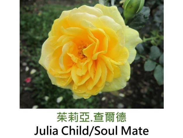現代豐花矮叢玫瑰,育出:2004美國,奶油黃轉淺黃色,圓瓣杯形,微香