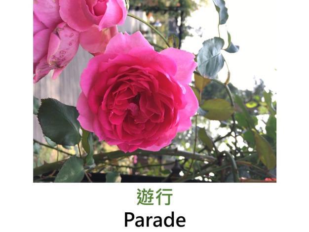 現代豐花攀緣玫瑰,育出:1953美國,深紅色,杯狀花形,淡香
