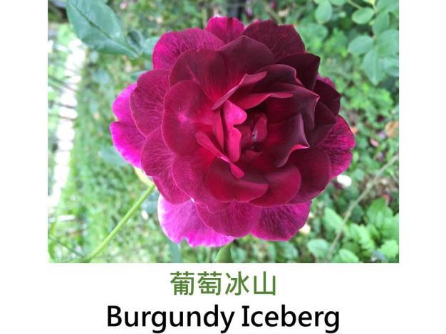 現代豐花矮叢玫瑰,育出:1998澳洲,紫紅色,圓瓣平開形,微香