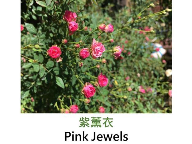 現代迷你矮叢玫瑰,育出:日本,淡粉轉深濃色,圓瓣平開形,微香,號稱是世界上最小的迷你玫瑰