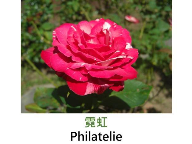 現代雜交茶香玫瑰,育出:1999紐西蘭,紅白絞紋,重瓣杯狀平開