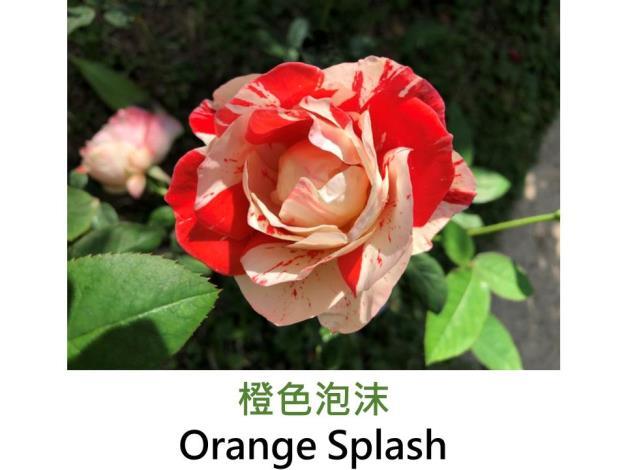 現代豐花矮叢玫瑰,育出:1991美國,橘紅及白色條紋,圓瓣杯形,強香
