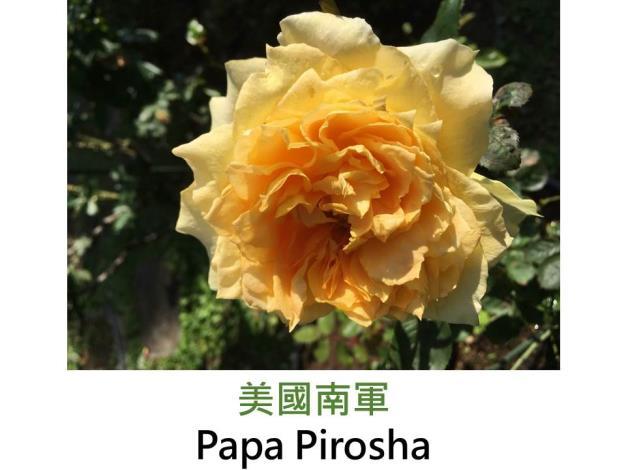 現代雜交茶香玫瑰,發現:1990,黃色,重瓣古典簇生花形,洋基Yankee Doodle(美國北軍)在台灣的芽變種