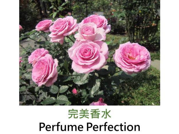 現代豐花矮叢玫瑰,育出:1999美國,淺紫色,彩球花形,強香