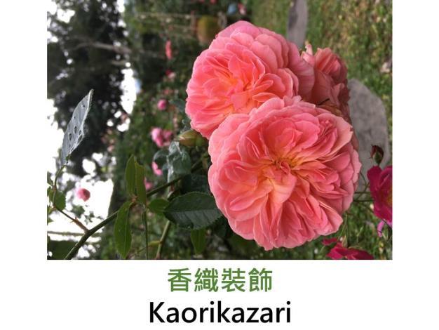 中輪灌木玫瑰,育出:2012日本,粉橘色杏黃底,強香