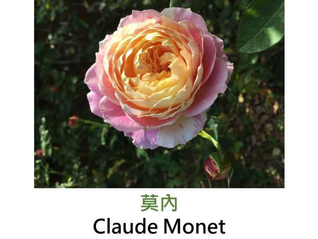 中輪豐花玫瑰,育出:2012法國,粉紅與黃色絞紋,杯形