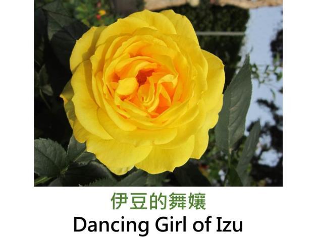 中輪豐花玫瑰,育出:2001法國,深黃色,半劍瓣高心形,中香