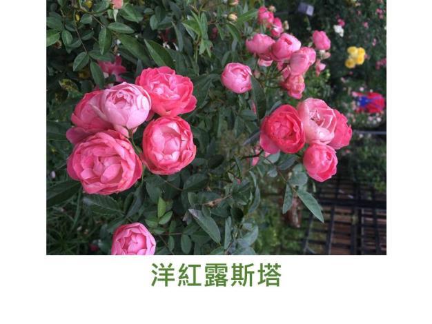 現代多花矮叢玫瑰,洋紅色,圓瓣彩球形,微香