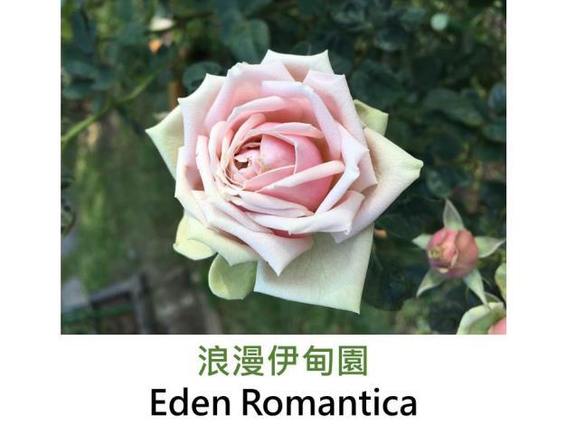 中輪豐花玫瑰,育出:2003法國,粉色帶綠邊,濃香