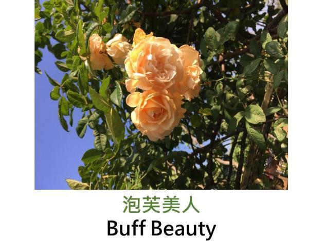 現代麝香雜交玫瑰,育出:1939英國,橙黃色,重瓣彩球形,濃香,可培養為攀緣玫瑰
