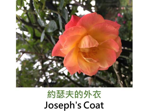 現代豐花攀緣玫瑰,育出:1964美國,黃底橘邊沁粉,重瓣平開,淡香
