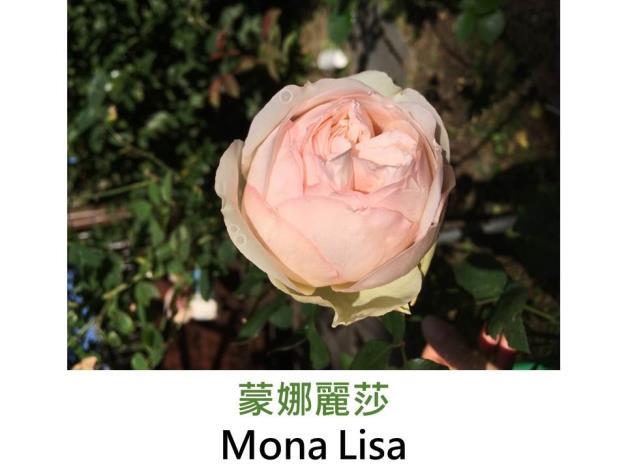 現代豐花矮叢玫瑰,育出:1980德國,黃杏混色,重瓣杯狀,淡香