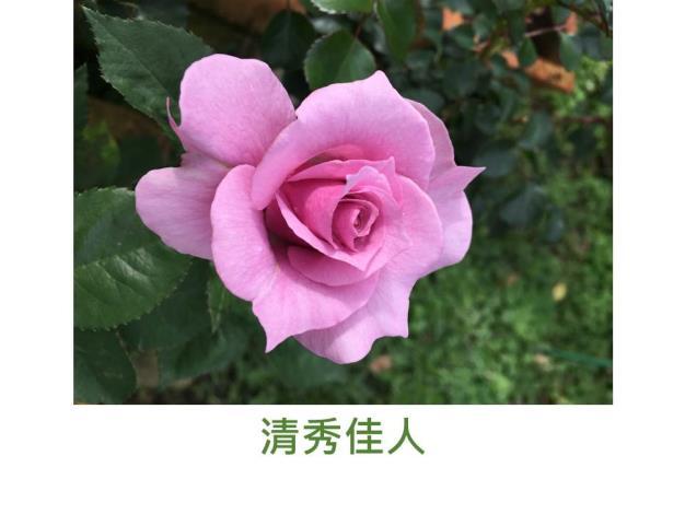 現代豐花矮叢玫瑰,育出:台灣,粉紫色,波浪平開形,中香,驚藍(Shocking Blue)實生種