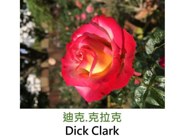 現代大花灌木玫瑰,育出:3009美國,花心奶黃,瓣緣由粉至紅,劍瓣高心形,淡香
