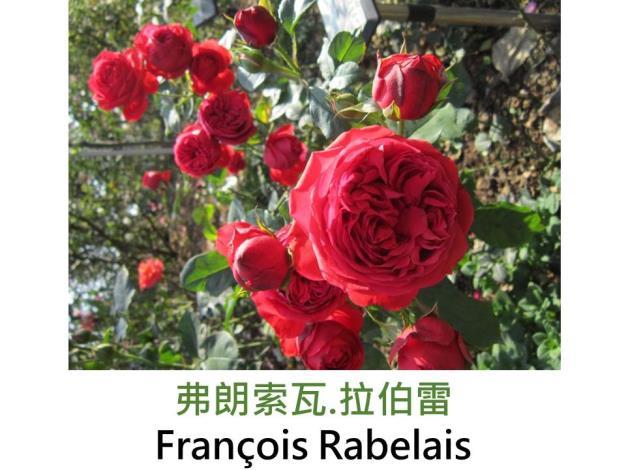 中輪豐花玫瑰,育出:1998法國,紅色,重瓣古典杯形,微香