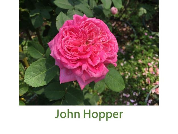 育出:1862英國.粉紅色.半球型
