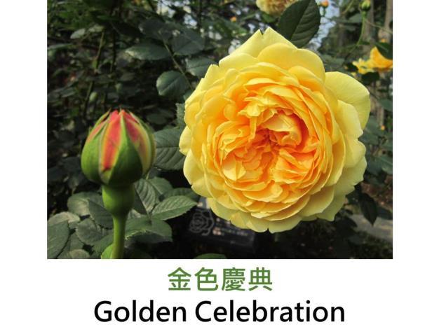 灌木玫瑰,育出:1992英國,黃色,重瓣古典杯形,強香