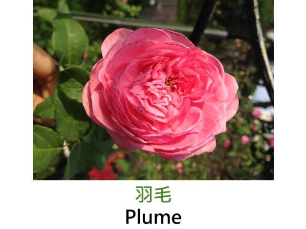 中輪豐花玫瑰,育出:2014日本,粉色,中香