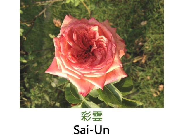 現代雜交茶香玫瑰,育出:1980日本,橘色,完全重瓣球狀花形,濃香