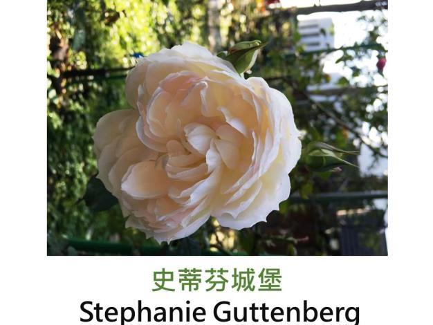 中輪豐花玫瑰,育出:2011德國,奶油白色,玫瑰粉花心,杯狀,微香