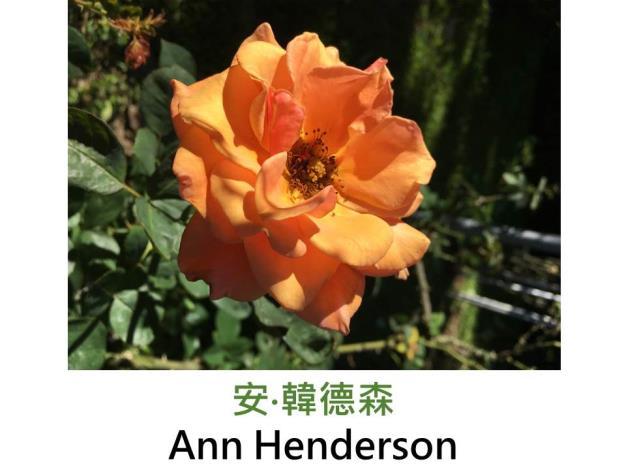 現代豐花矮叢玫瑰,育出 : 2004英國,橘杏色,重瓣簇生花形,濃香