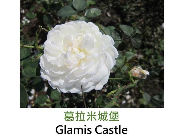 現代英國灌木玫瑰,育出:1992英國,純白色,圓瓣杯形,甜沒藥香