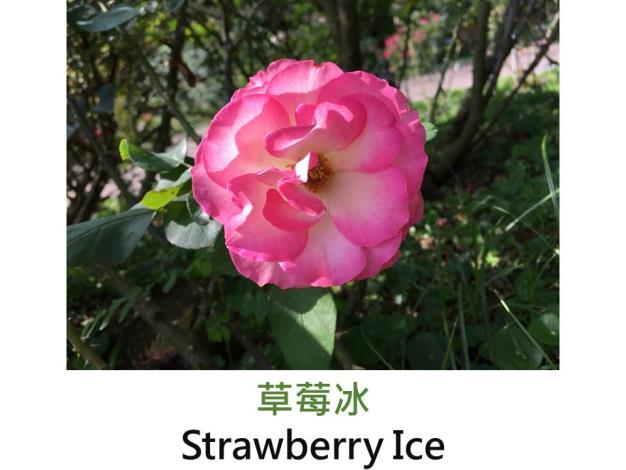 輪豐花玫瑰.育出:1973法國.白色粉紅覆輪.圓瓣平開型.微香